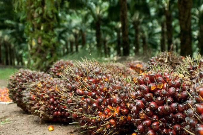 Ilustrasi Kelapa Sawit. Foto : AyoJakarta